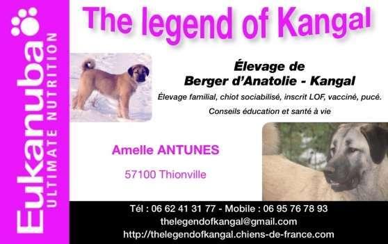 Chiot Berger d Anatolie-Kangal LOF