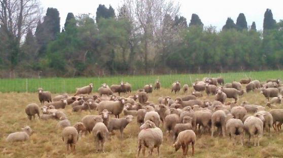brebis / agnelles / agneaux à salon-de-provence - Annonce gratuite marche.fr