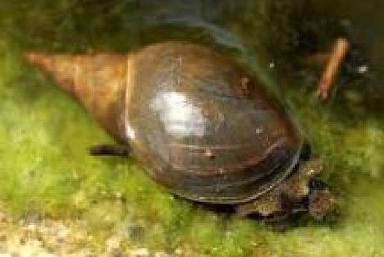 Escargots pour bassin
