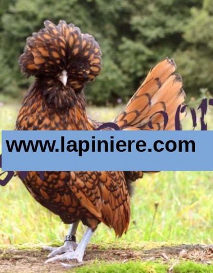 Poule d'ornement et poules oeufs bleus