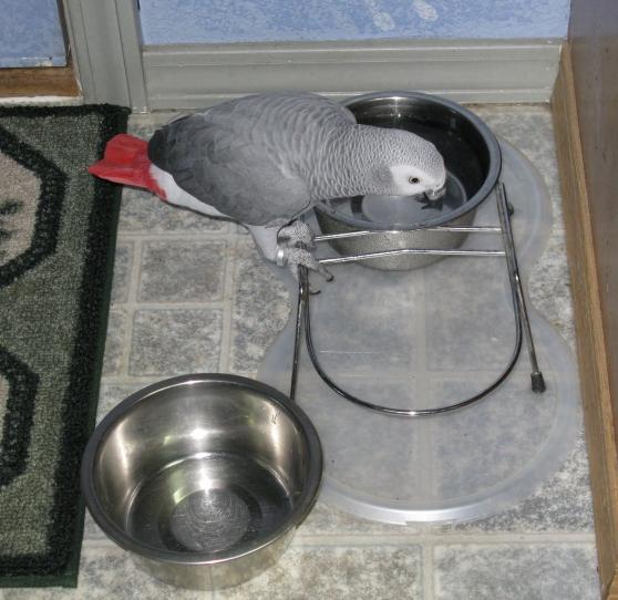 Adorable perroquet gris d'Afrique.