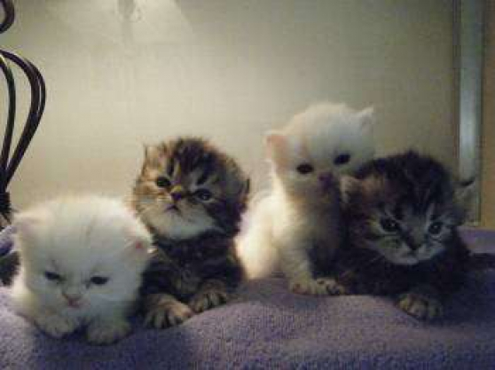 Adorables Chatons Scottish fold