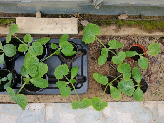 Annonce occasion, vente ou achat 'Plants de courgettes'