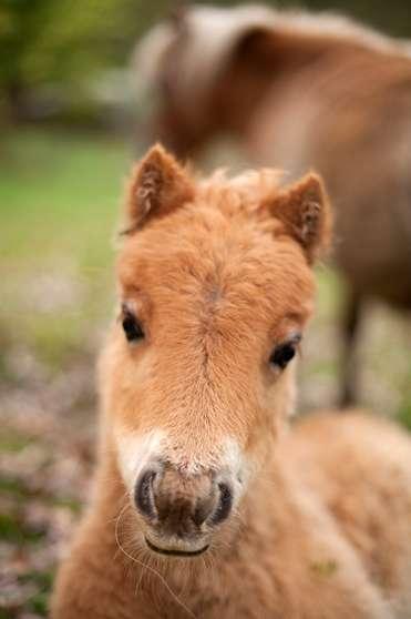Annonce occasion, vente ou achat 'Pouliche cheval miniature'