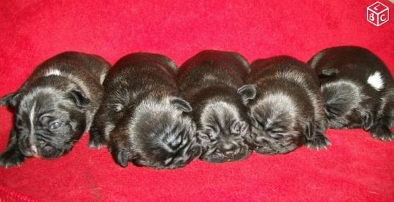 Petite Annonce : Bouledogues français - A réserver 5 bébés bouledogues français non LOF, 5 femelles bringées,