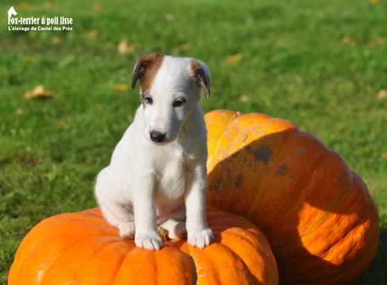 Annonce occasion, vente ou achat 'Chiots Fox-terrier à poil lisse LOF'
