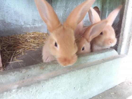 Petits lapins fauve de bourgogne