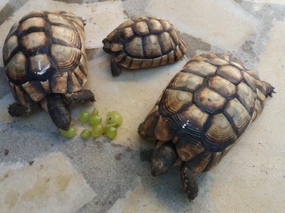 Annonce occasion, vente ou achat 'tortues terrestres de 10 ans et de 12ans'