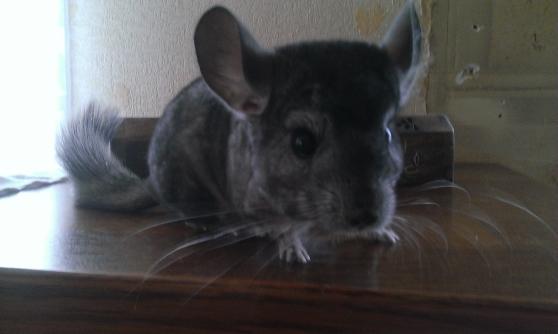 Annonce occasion, vente ou achat 'chinchilla male de 6 mois gris foncé'