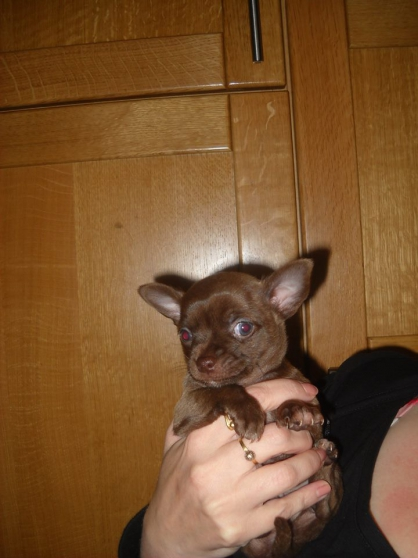 Annonce occasion, vente ou achat 'chiot chihuahua male poils court'