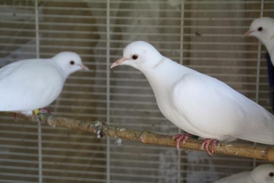 colombe - Photo 2