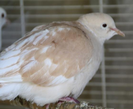 colombe - Photo 4