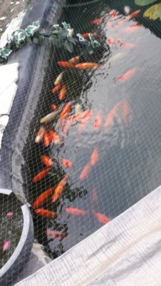 KOI divers et gros poissons rouges