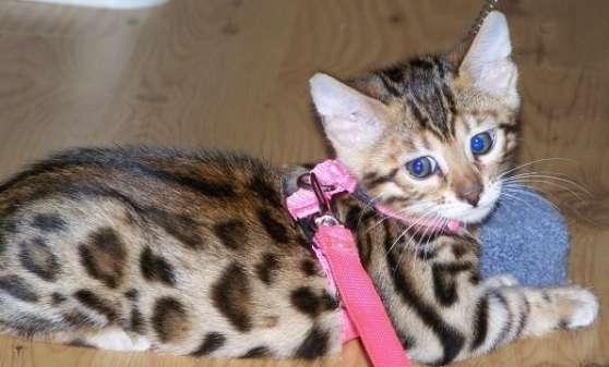 chatons de race bengal disponible
