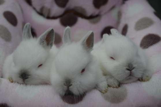 Adorable bébés lapins nains