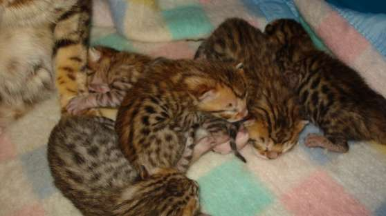 chaton bengal loof a reserver