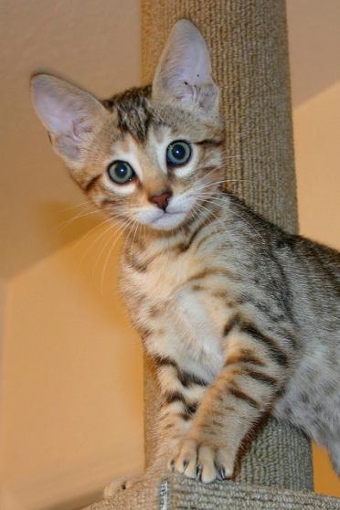 chatons exotiques disponibles