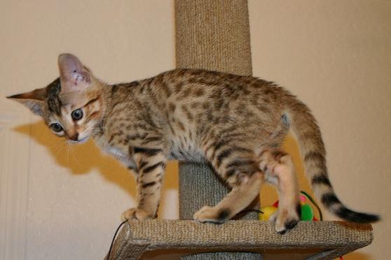 chatons exotiques disponibles - Photo 2