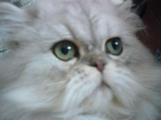 persan chinchilla silver LOOF entier