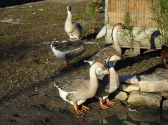 Canards et oies de races animaux poules bonneuil sur - Bonneuil sur marne code postal ...