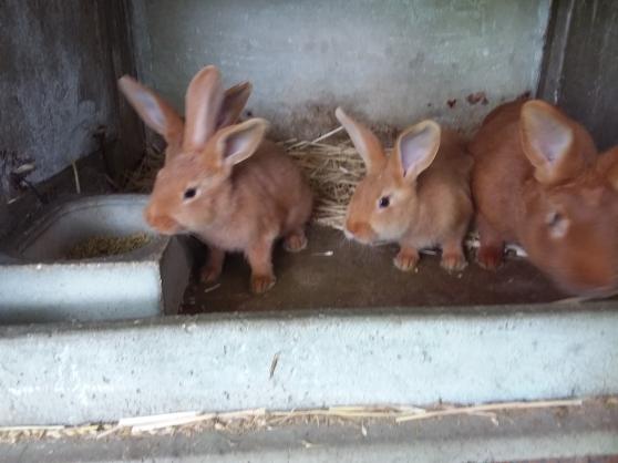 Annonce occasion, vente ou achat 'Bébés lapins fauve de bourgogne'