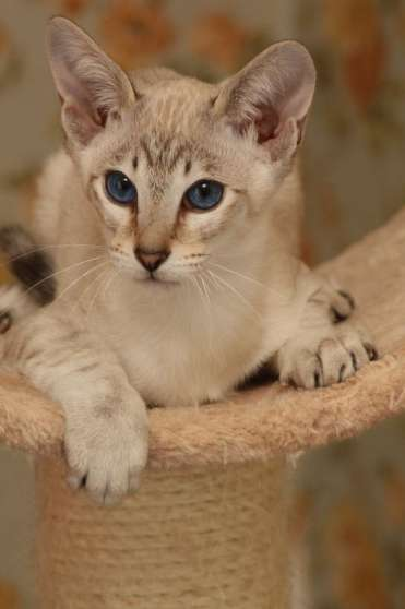 Vends 1 chaton siamois et 1 orientale