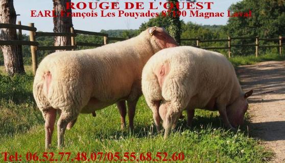 ile de france mouton b lier b liers animaux moutons magnac laval reference ani mou ile. Black Bedroom Furniture Sets. Home Design Ideas