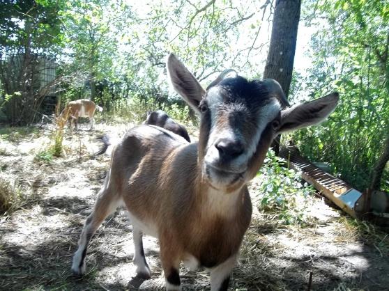 chèvres naines et bouc demi-nain castré