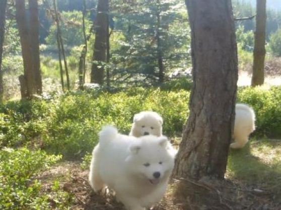 Chiots samoyede