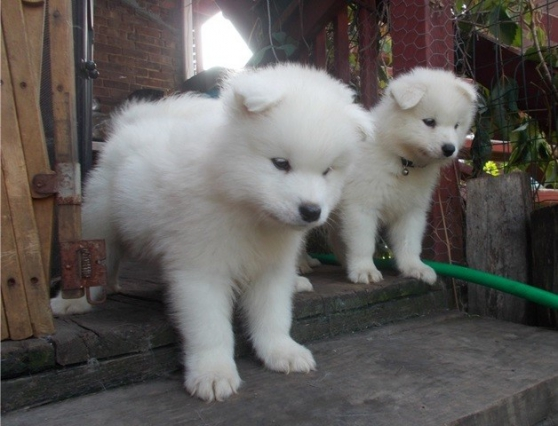 Superbes Chiots samoyede lof