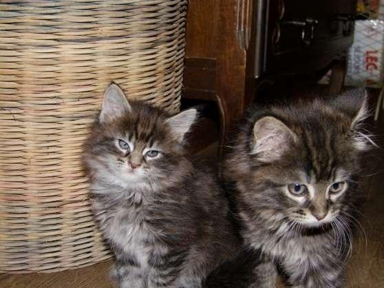 Magnifiques chatons Maine Coon - Photo 2