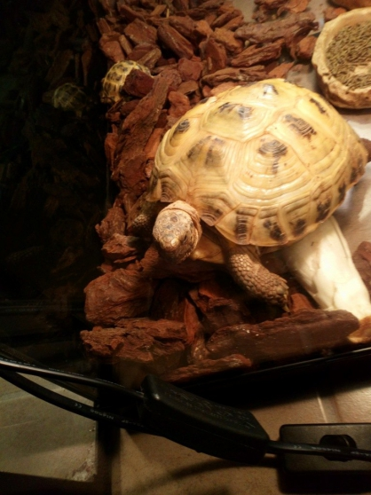 vends deux tortues de terre femelles