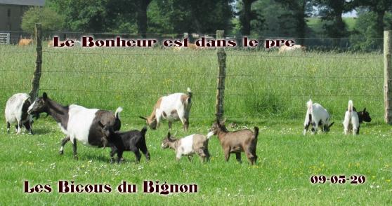 chèvres mini naines( race sans corne)
