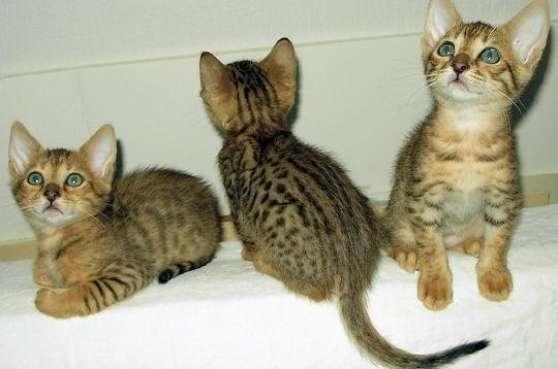 3 Chatons Bengal LOOF