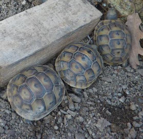 tortues