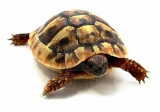 tortues hermann corse - Photo 2