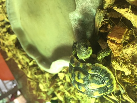 Tortue Hermann 2 ans