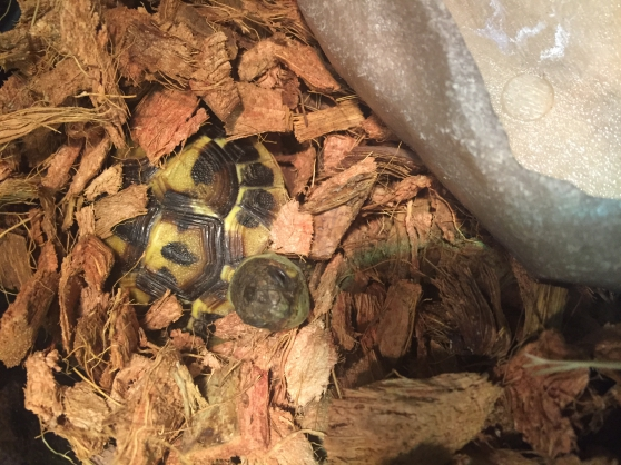 Tortue Hermann 2 ans - Photo 2