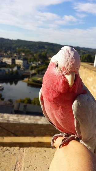 Annonce occasion, vente ou achat 'superbe Cacatoès rosalbin'