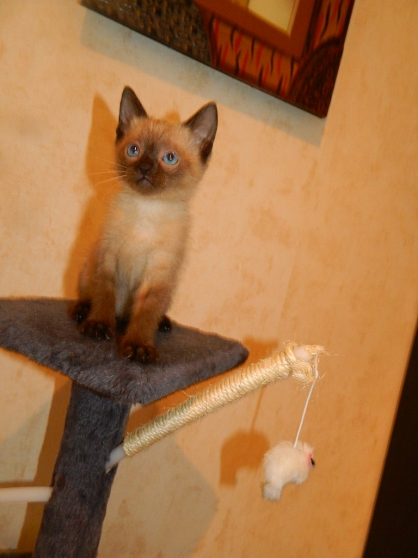 Adorable chatons siamois - Marche.fr
