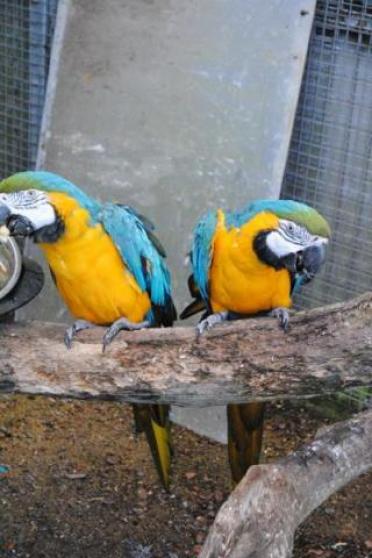 Annonce occasion, vente ou achat 'Perroquet Aras Ararauna'