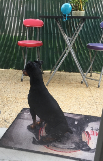 Annonce occasion, vente ou achat 'Saillie pinscher nain'
