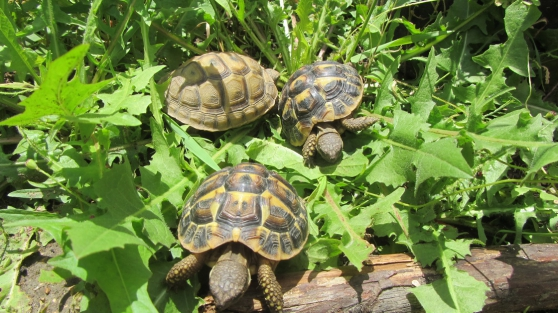 Annonce occasion, vente ou achat 'Jeunes tortue de terre'