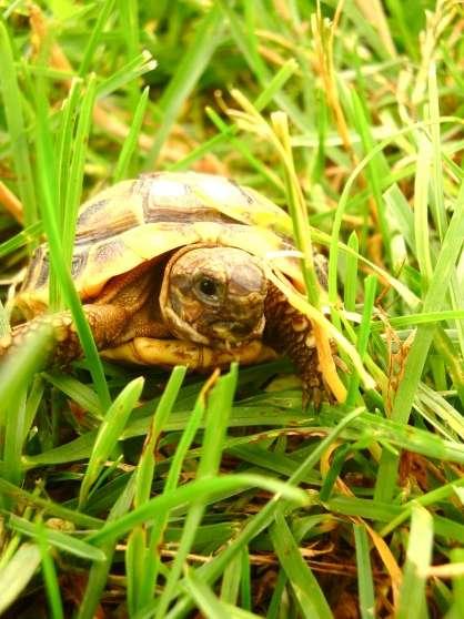 garde de tortue juvénile