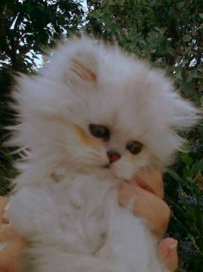 Chaton Persan A Donner Marche Fr