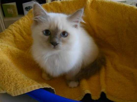 3 chatons sacré de birmanie blue loof