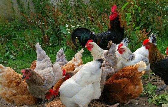 Recherchez vente ou occasion animaux annonce gratuite for Prix des poules pondeuses