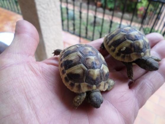 jeunes tortues de terre - Annonce gratuite marche.fr