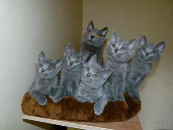 Annonce occasion, vente ou achat 'Chatons Chartreux'