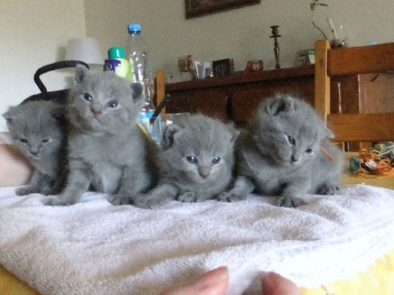 Annonce occasion, vente ou achat 'Chatons Chartreux loof'